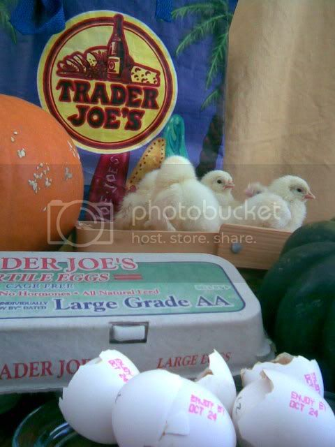 http://i433.photobucket.com/albums/qq53/napavalleychickens/Group%2010/89a1f3ec3617.jpg
