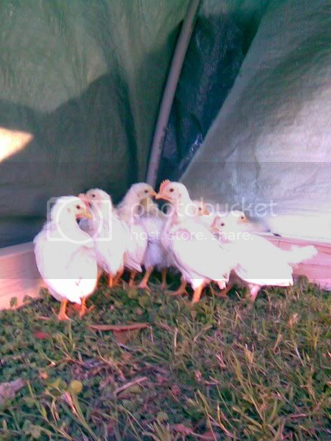 http://i433.photobucket.com/albums/qq53/napavalleychickens/Group%2010/ab33cfb68935.jpg